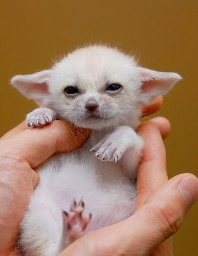 A Baby Fennec Fox <3