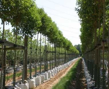 Ligustrum japonicum (Japanese Privet) Trees - Buy Today