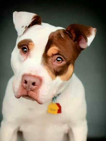 Pretty #Pitbull