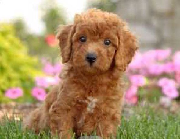Adorable Red Cockapoo's for Adoption due March