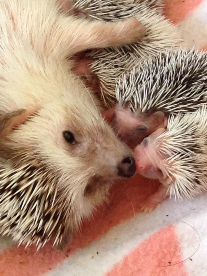 Pet Hedgehog... Baby SO SWEET! Look at the contentment on the mama's face! BEAUTIFUL!