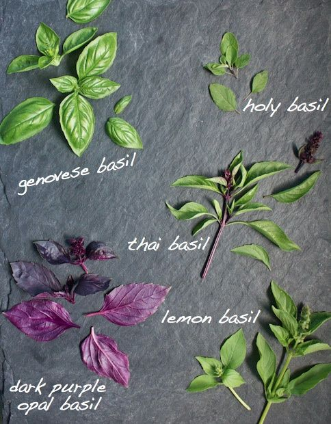 For the most intense flavor, basil should be added at the end of the cooking process. Matches well with: cheese, chicken, duck, eggplant, eggs, fish, lamb, liver, olive oil, onions, pasta, pesto, pizza, pork, potatoes, rabbit, salads, shellfish, soups, sweet peppers, tomatoes, veal, vegetables, vinegars, zucchini, tomato sauce.