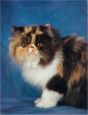 Calico Persian Cat.  If there's ever a time I'm not rescuing farm cats....I'll have one of these :)