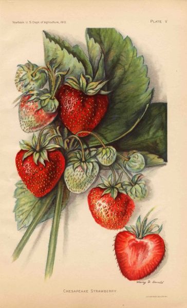 1912 Chesapeake Strawberry