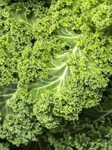 Oderings Garden Centre | Vegetable - Curly Kale, Seedling
