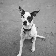 Staffy X Cattle Dog -Dog Photography Newcastle & Central Coast . Image: Cavanagh Photography http://adamcavanagh.com.au