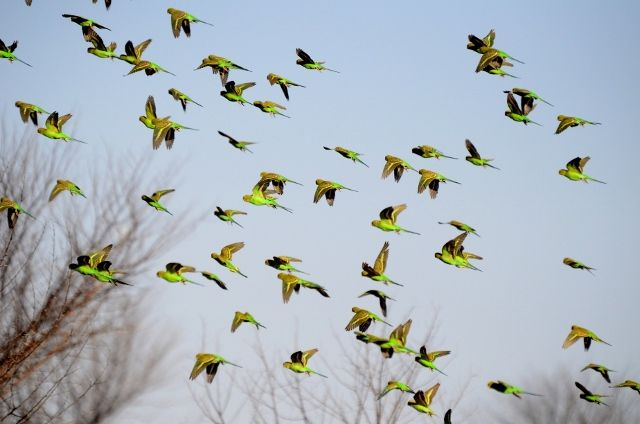 Budgerigars can be found in large flocks in the outback