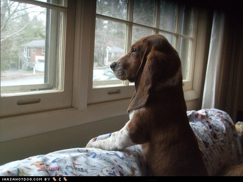 come home soon: Hound Puppies, Window View, Bassett Hound, Bassetthound, Basset Hound, Bassethound, Cute Dogs, Bays Window, Furry Friends
