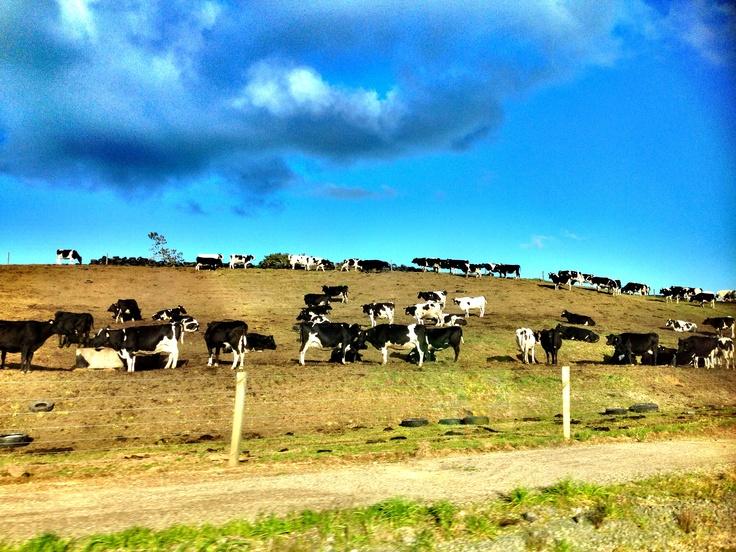 Lembu New Zealand =)
