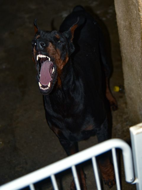 Is Your Dobermann Pinscher Driving You Crazy? Within Hours ... - photo#20