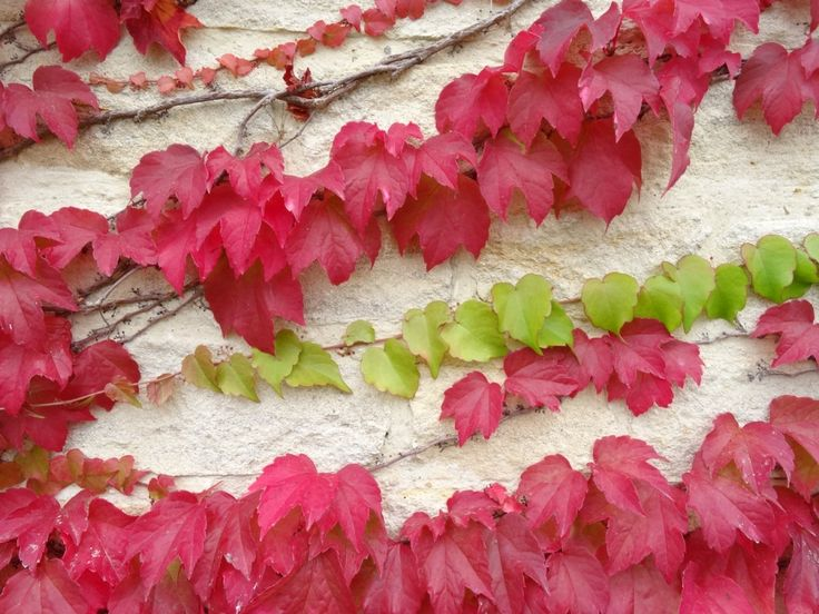 Red Virginia Creeper adorning the walls at Calcot http://www.calcot.co