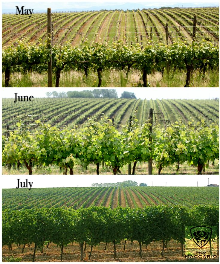how the canopy changes during the spring/summer time in the ‪#‎vineyard‬