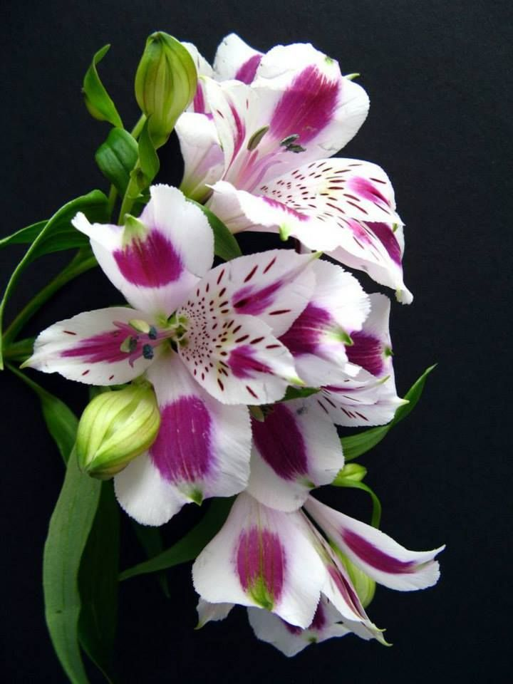Alstroemeria this is the best long lasting pretty flowers ...