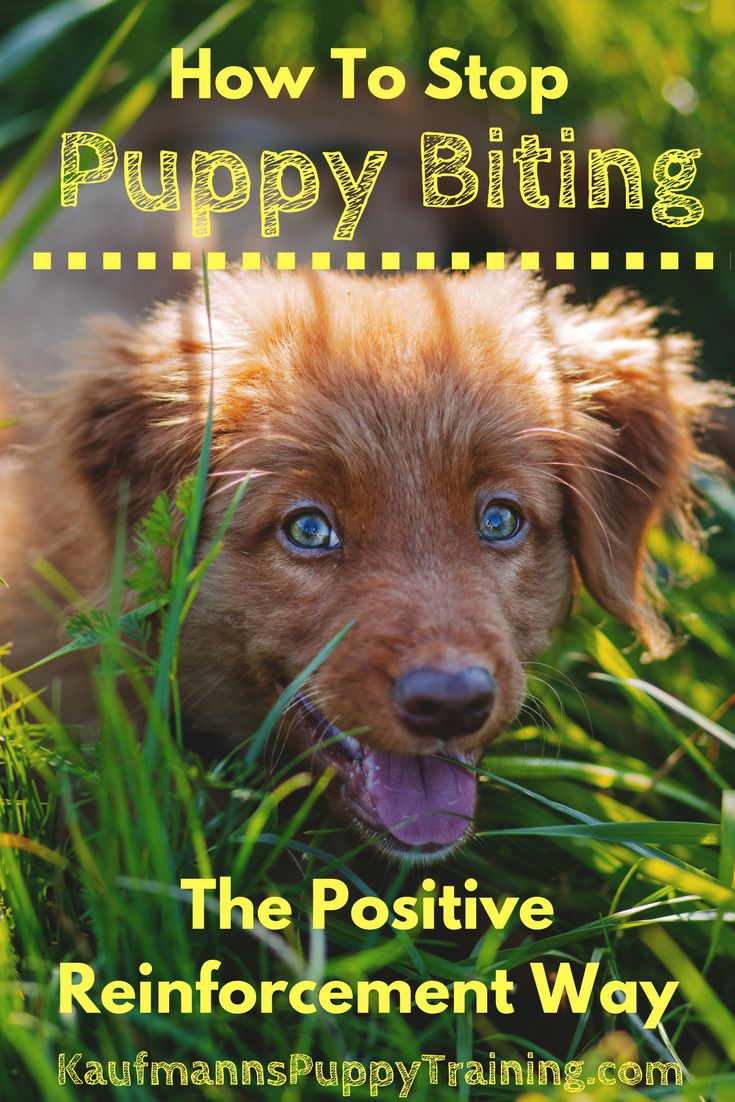 In this post, I'll tell you how to stop puppy biting easily so that you can enjoy playtime with your puppy and feel confident about having your dog around kids and strangers. How To Stop Puppy Biting: The Positive Reinforcement Way   // KaufmannsPuppyTraining.com // Kaufmann's Puppy Training // dog training // dog love // puppy love //
