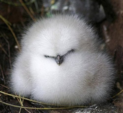 Now the baby 'albatross' doesn't look like it could ever become 'a burden'. Many near extinction because of trash in our oceans.