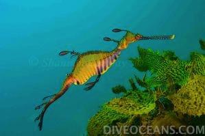 DIVE OCEANS   Esperance Leafy Sea Dragon Tour  シー ドラゴンのことなら 15 年の経験を持つ DIVE OCEANS へお任せ下さい