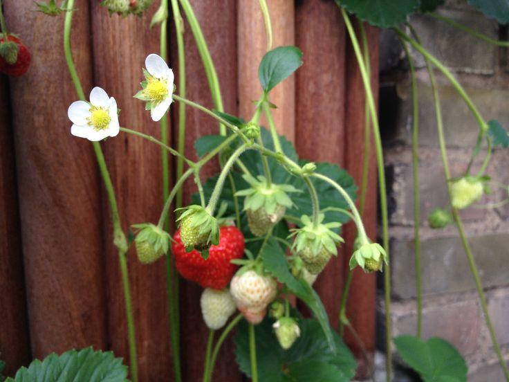 Altan jordbær