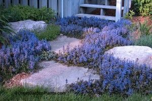 Ajuga Chocolate chip - fast spreading ground cover for sun or shade