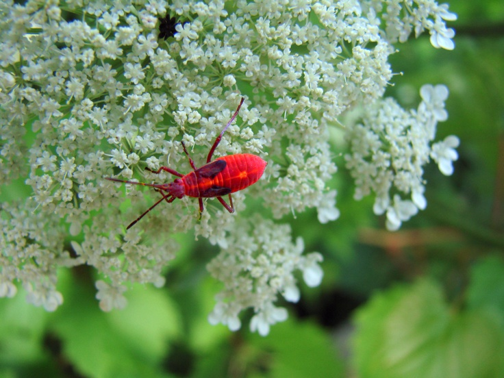 Box Elder Bug nymph on Queen Anne's Lace Pest control