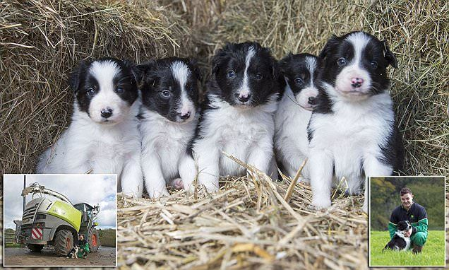 Shepherd S Delight As Miracle Dog Gives Birth After Tractor