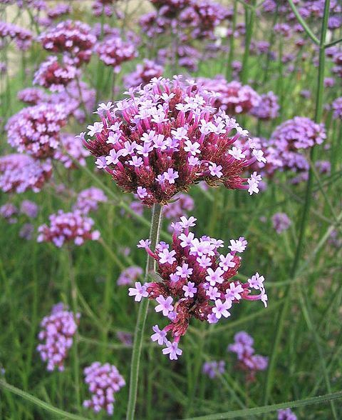 Ijzerhard (Verbena bonariensis) *witjes, atalanta, distelvlinder, kleine vos, dagpauwoog, vuurvlinder