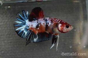 Ikan Cupang Plakat Fancy Dragon PK8. Warna Fancy, Size M, kondisi ikan sehat, body proporsional, mental berani, warna sisik mengkilap, betuk keseluruhan mewah. #ikan #cupang #plakat #ikancupang #bettafish