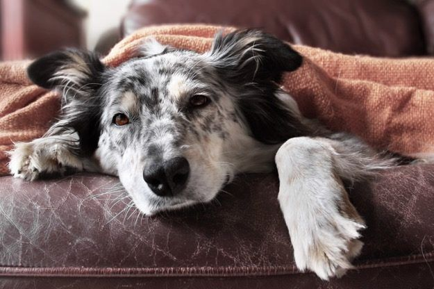 black and white sick dog under blanket  10 Common Dog Illnesses and How to Treat Them