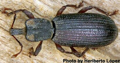 Oromia thoracica - a new species of weevil discovered by two Spanish Entomologists in the canary islands.
