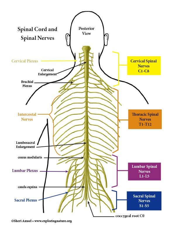 Spinal Cord And Spinal Nerves Color Diagram Human Body Anatomy Nervous System Structure Body Anatomy