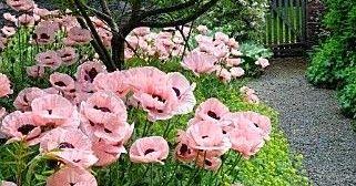 Photos Hub: Pink Poppies