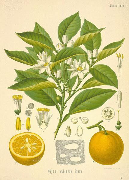 Orange Leaf (sweet) Tea - Citrus sinensis