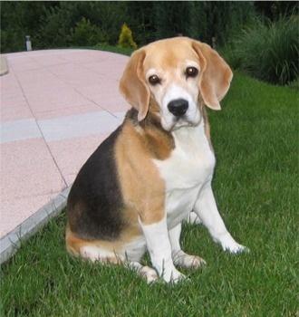 beagle anak anjing dijual bandung
