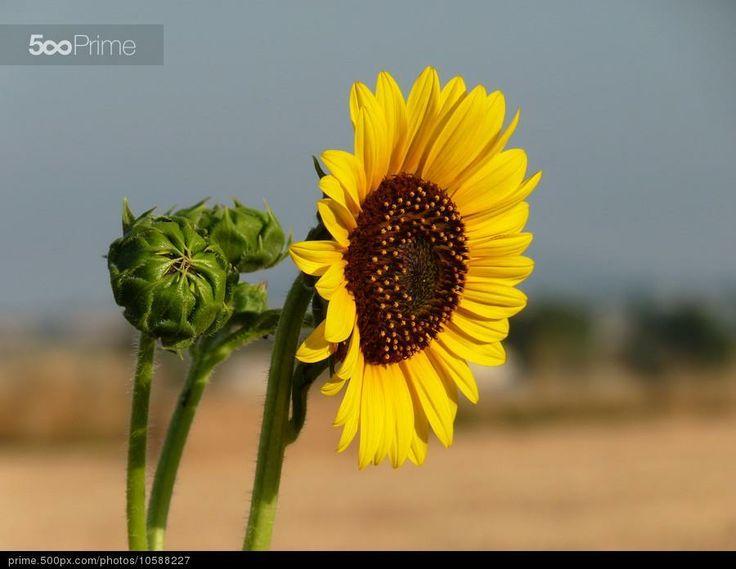 Sunflower | Girasole by MAURIZIO PONTINI | 500px Prime