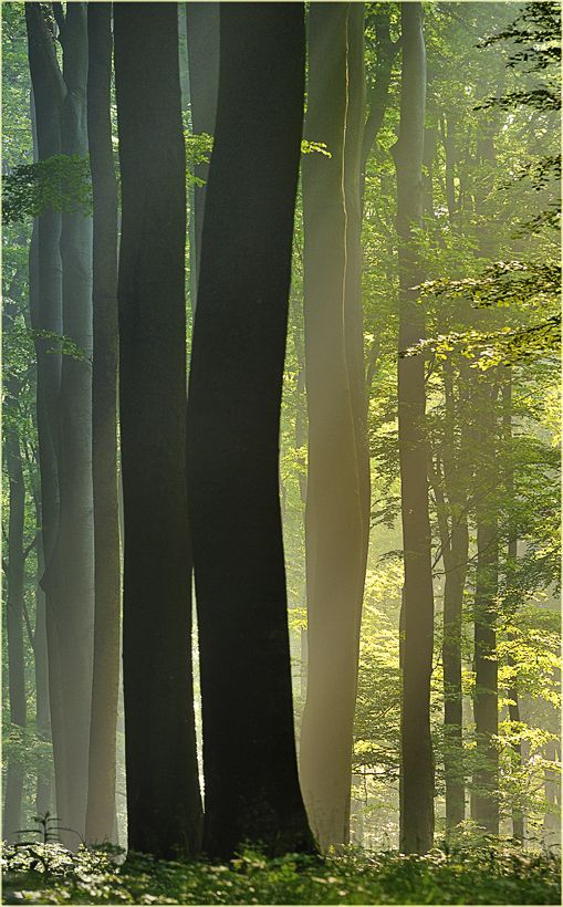 Beech, my favorite trees.  Hug one, they are very protective and comforting!       Beechcathedral by Ingrid Lamour on 500px