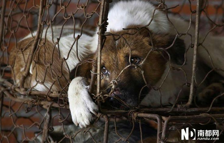 18 best images about Anti-Dog Meat Trade Petitions on ... - photo#40