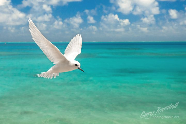 A White Tern or sometimes called a Fairy Tern in flight at Midway Atoll National Wildlife Refuge in the Northwest Hawaiian Islands.