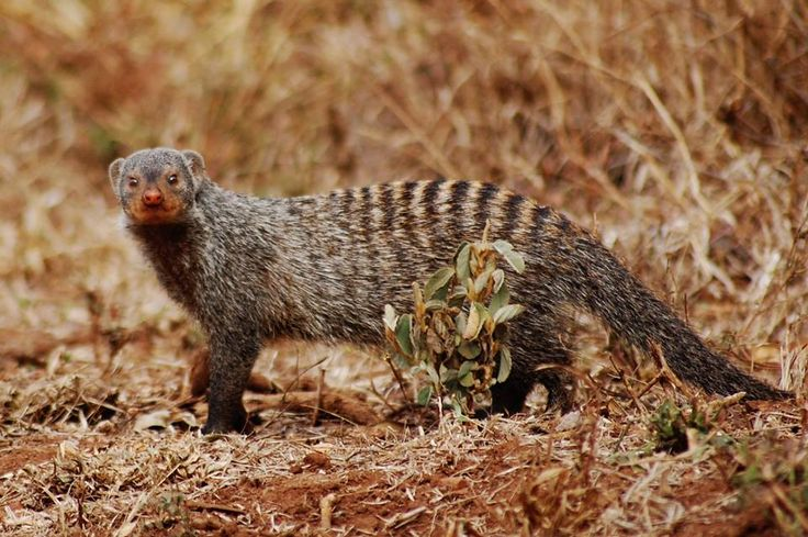 Gorgeous ring-tailed mongooseRing Tailed Mongoose