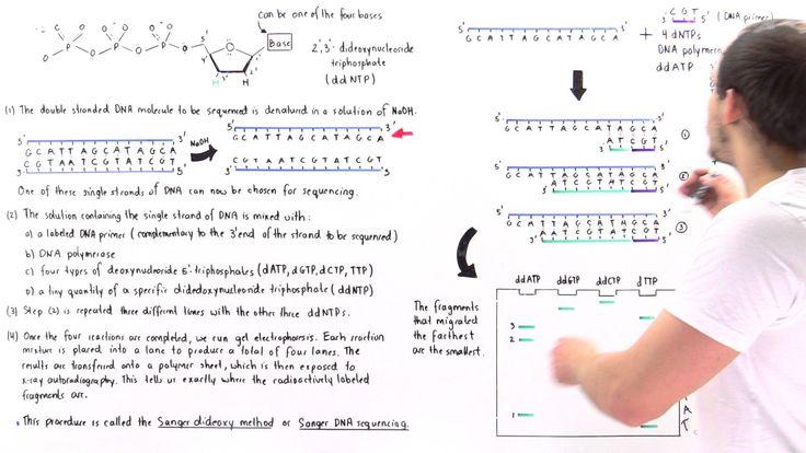 Sanger Sequencing of DNA (Part II)