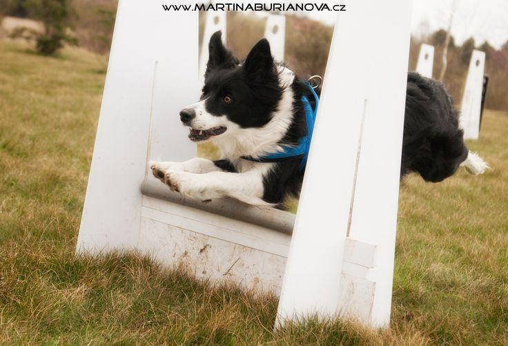 www.martinaburianova.cz Dogs - Flyball training