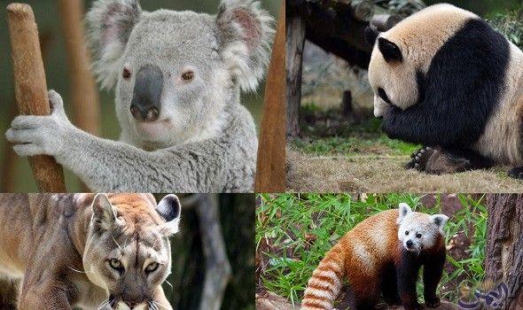 تقارير تكشف استمرار انقراض فصائل الحيوانات في أستراليا Koala Bear Koala Animals