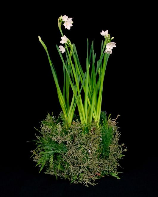 paperwhites with moss attached to the container...very pretty & simple! would be a lovely gift or a wonderful table arrangement