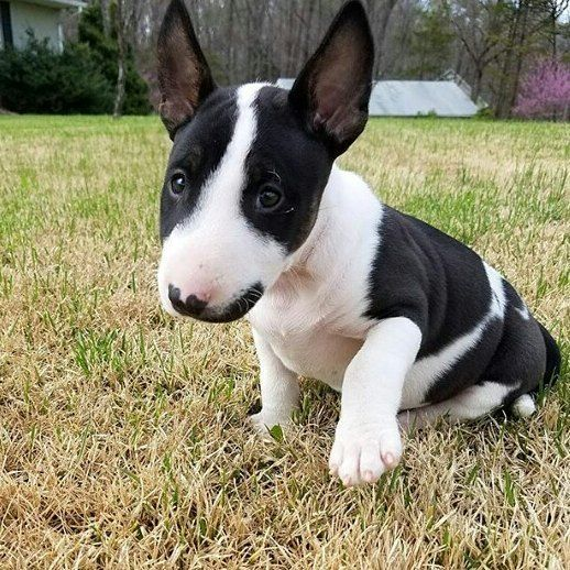 "8,684 Me gusta, 86 comentarios - Bullterrier of Instagram (@bullterriergram_) en Instagram: ""What a cute baby by @pawlie_thebully ❤ tag a bully lover """
