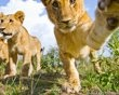 'BeetleCam' captures daily life of lions.  In 2009, British brothers Will and Matt Burrard-Lucas embarked on a project to capture unique close-up, ground-level photographs of African wildlife.