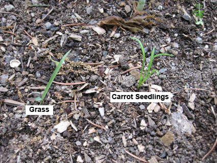 What do new seedlings look like vs weeds?
