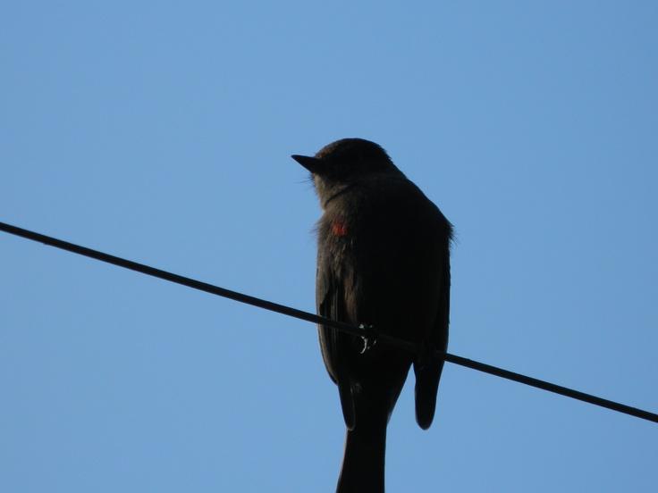 pájarito