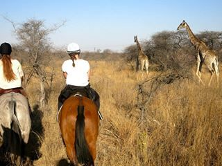 Getting to know the African bush survival secrets from our very knowledgeable guides on an exciting horse safari, riding in amongst our wildlife at Antelope Park.