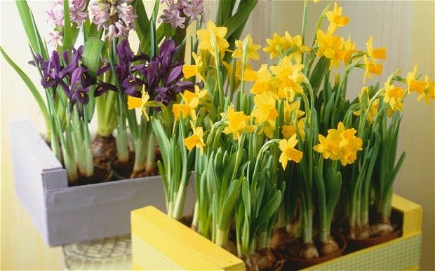 Spring bulbs in cute colourful wood boxes