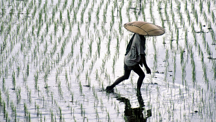 Through the Rice Fields