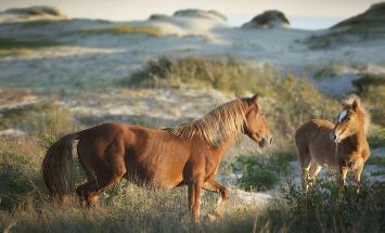 Banker ponies at Shackleford Banks, part of the Cape Lookout National Seashore - Google Search
