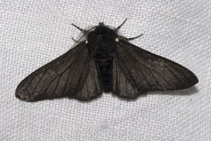 Biston betularia morpha carbonaria, the melanic Peppered Moth, illustrating discontinuous variation.